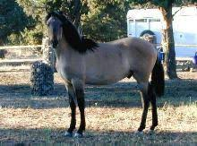 kiger mustangs for sale the kiger mustangs breed types and breeds