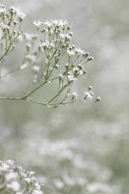 baby s breath gypsophila paniculata baby s breath stock image image of baby