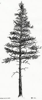 best 25 pine ideas on pine tree tree