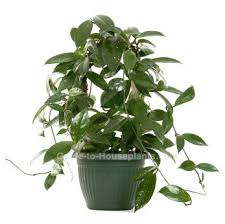 indoor vine wax plant hoya carnosa pictures care tips