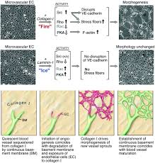 endothelial extracellular matrix circulation research