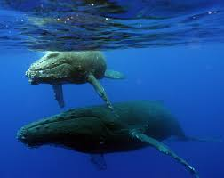 search continues for entangled whale in hawaii guardian liberty