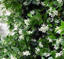 Fragrant Climbing Plant - full sun evergreen vines u0026 climbing plants ebay