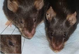 diabetes associated eye two transgenic mice left