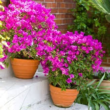 Tropical Climbing Plant - amazing vertical garden ideas about climbing plants in pots the