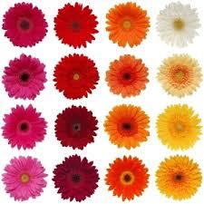 gerbera colors gerberas choose your own colors