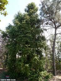 china fir cunninghamia lanceolata