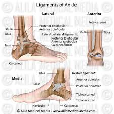 Collateral Ligaments Ankle Alila Medical Media Bones Joints And Muscles Images