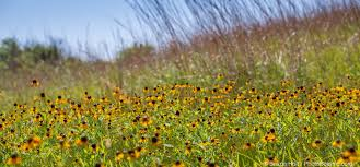 native prairie plants tallgrass prairie rhizosphere photobotanic
