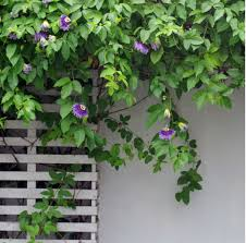 Plants For Pergolas by 15 Best Climbing Plants For Your Pergola And Arbor