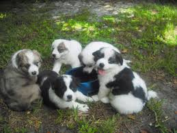 australian shepherd and beagle mix border collie great pyrenees u003d my puppies adopted the dog