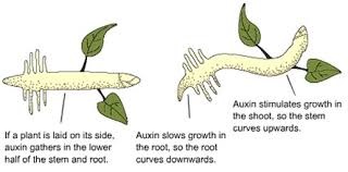 auxin is a plant hormone that promotes cell elongation it is