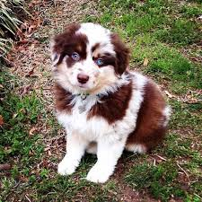 5 month old mini australian shepherd 25 best mini puppies ideas on pinterest cute puppies cute dogs