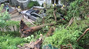 four trees collapse in hong kong after heavy as government