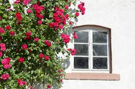plant a rose garden like a pro even if you u0027re not farmers