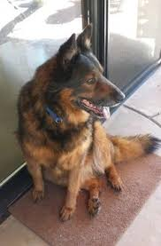 How To Get A Comfort Dog Jack German Shepherd Doesn U0027t Trust These Bubbles They Get A