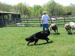 belgian sheepdog newsletter photos belgian sheepdog club of america