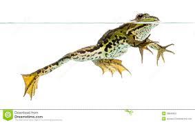 frog swimming clipart clipartxtras