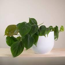Indoor Flowering Plants by 15 Best Indoor Plants For The Uae Zeneifromkohima