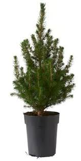 live real potted tree white spruce 1 tree 15cm pot