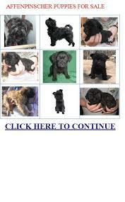 affenpinscher texas 17 photos of affenpinscher puppies for sale in michigan u2022 petmehome