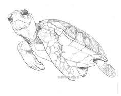 how to draw a sea turtle life drawing u2026 pinteres u2026