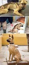 belgian sheepdog dog rescue 10 incredible before u0026 after rescue dog transformations show what