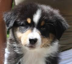 australian shepherd quebec welcome to robin australian shepherds dedicated to preserving a