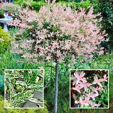varigated japanese willow aicheml says japanese beautiful
