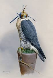 174 best falconry noble bird of prey images on pinterest birds