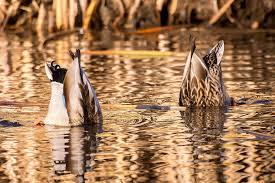 dabbling duck definition learn the dabblers