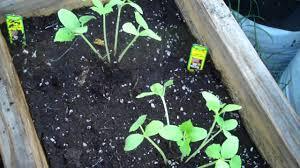 lemon cucumbers youtube