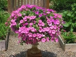 how to propagate petunias wax begonias u0026 impatiens for winter