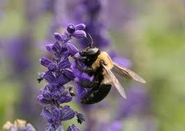 eastern carpenter bee wikipedia
