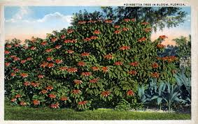 poinsettia tree florida memory poinsettia tree in bloom florida