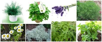 mosquito plants 12 natural mosquito repellent plants 1001 gardens