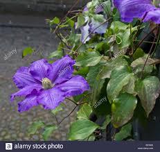 beautiful climbing plant purple flowers part 6 beautiful