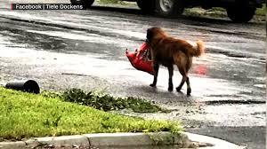 photo of dog carrying bag of food goes viral cnn video