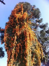 special tree in kopan orange color like the monks