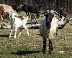 slow food usa spanish goat