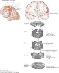 Floor Of The Cranium Cranial Nerve Motor Nuclei And Brain Stem Motor Functions