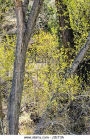 Cottonwood Tree Flowers - western cottonwood tree stock photos u0026 western cottonwood tree