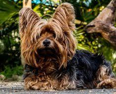 belgian shepherd hypoallergenic best non shedding shedding u0026 least shed dog breeds list