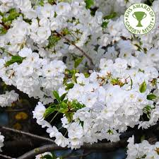 prunus shirotae buy mount fuji cherry blossom trees