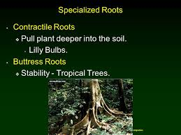 Tropical Plant Biology - roots chapter 5 copyright mcgraw hill companies permission ppt