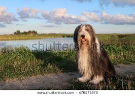 bearded collie mini bearded collie stock images royalty free images u0026 vectors
