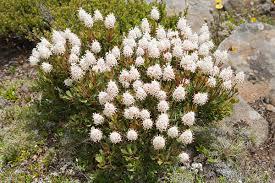 montana native plants bellendena wikipedia