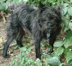 affenpinscher terrier mix the st louis senior dog project