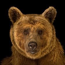 Two Polar Bears In A Bathtub Brown Bear National Geographic