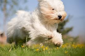 belgian sheepdog dogtime coton de tulear dog breed information pictures characteristics